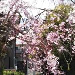 こちらはベニシダレ桜