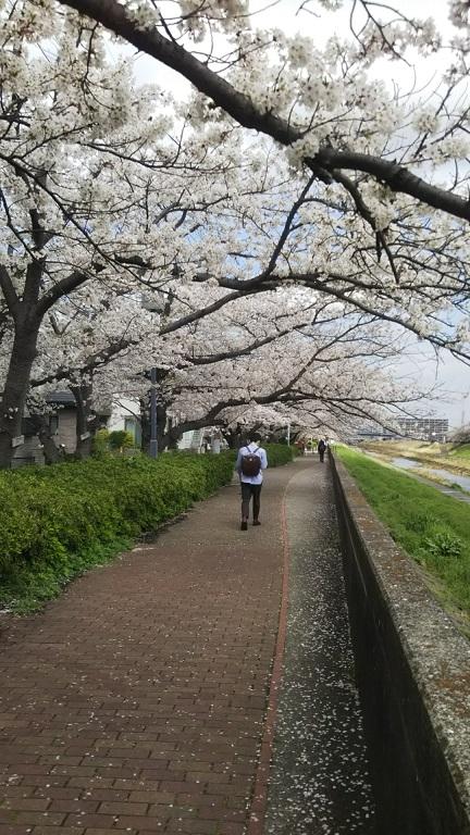 イケメンの後ろ姿と桜