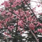 金井公園のオカメ桜