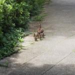 昨年遭遇したカルガモ親子の散歩