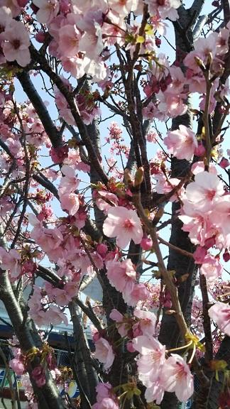 ヨコハマヒザクラはピンクが濃く下向きに咲くのが特徴