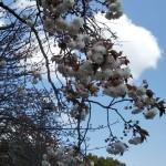 普賢象(八重桜)