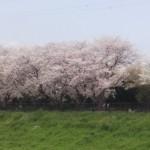 対岸の桜も見事