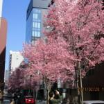 小ぶりな花が特徴のオカメ桜