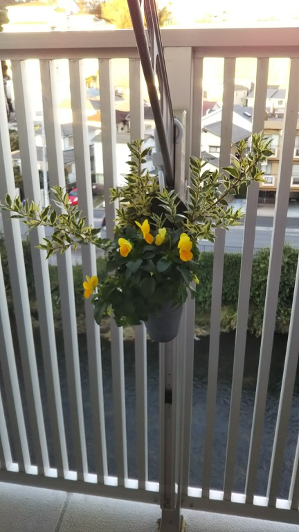 買った時よりいっぱい咲きました