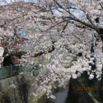 川岸の桜はいい感じ