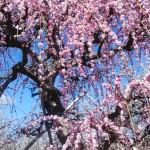 曽我の枝垂れ梅