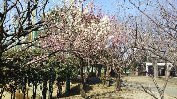 梅も真っ盛りに