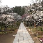 満開の頃の東慶寺