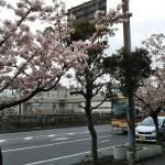 大船駅前の玉縄桜