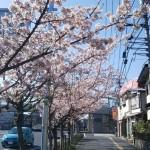玉縄桜の並木