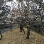 白梅も咲き出しました