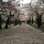 千秋公園は桜の絨毯も楽しめた