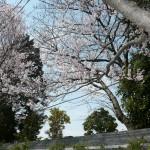 もう満開になっているのは「彼岸桜」