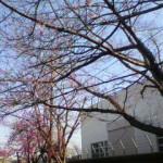 向こう側の濃いピンクはカンヒザクラ
