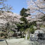 妙本寺の桜も満開