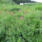 小さな花は白山フウロ