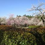 フラワーガーデンの梅園