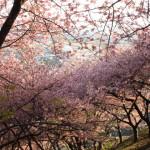 ソメイヨシノより濃いピンク