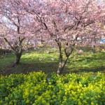 名物の景色「桜と菜の花」