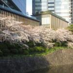 お堀端の桜は満開