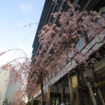 枝垂桜も愛らしい