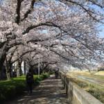 枝が低く垂れているのでまさに桜のトンネル