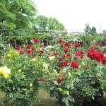 沢山の種類のバラが咲き乱れる