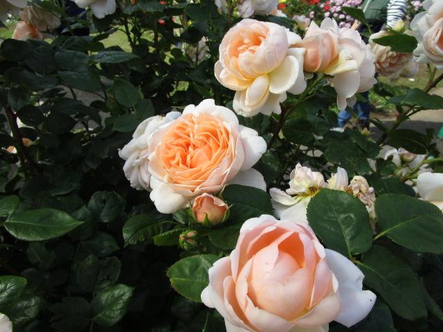 優しい色合いのバラ