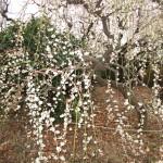 枝垂れ梅が見事