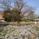 鎌倉の玉縄にちなんで玉縄桜と呼ばれる桜