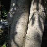 これが「金木犀」の由来の樹皮