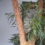 コアラは寝てばかり