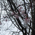 彼岸桜は早咲きの桜