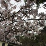 満開の玉縄桜