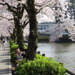 お堀と桜はお似合い