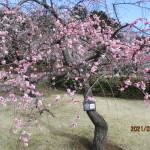 枝ぶりも花も両方とも見事