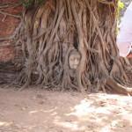その首が菩提樹の根に包み込まれて(ワットプラマハタート)