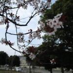 桜かと思えばべにすもも7