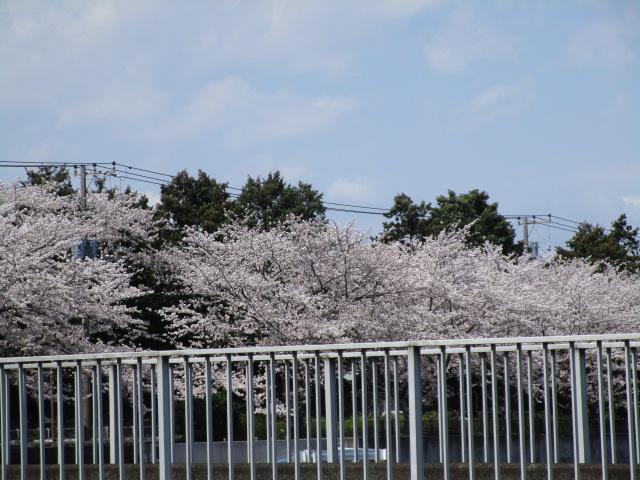 大船よりの桜並木