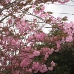 八重桜が咲き出した
