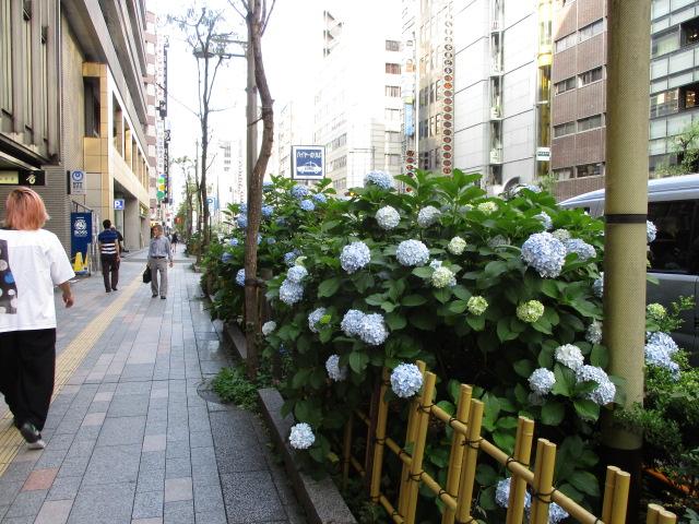 道路の両側に紫陽花が