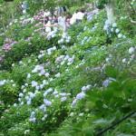 去年はもっとこばれるほどに咲いていた長谷寺